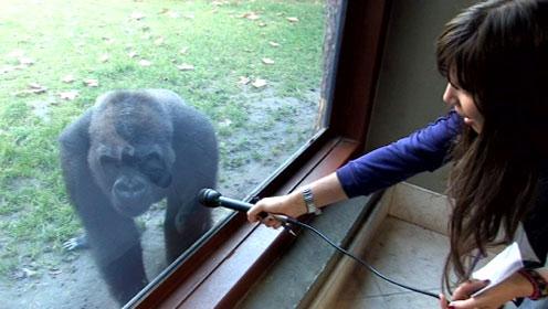 Új gorillalány a kifutón