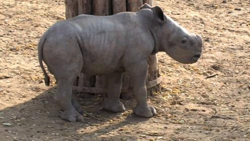 Mérföldkő az állatkerti rinók életében